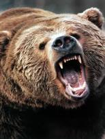 Golden Bear Tradition California's long association with grizzly bears made the Golden Bear nickname selection a natural one